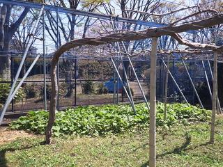 2か月前はフキノトウでしたが、フキの青々とした葉が展開しています.JPG
