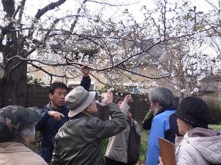 2オオシマザクラ観察 西本村憩いの森.JPG