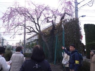 3ベニシダレ観察 図書館近くのテニスコート脇.JPG