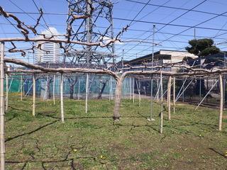 4月9日ミツオさんの畑にも春がやってきました!.JPG