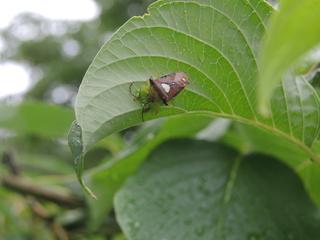 たまごを守るエサキモンキツノカメムシ雌.JPG