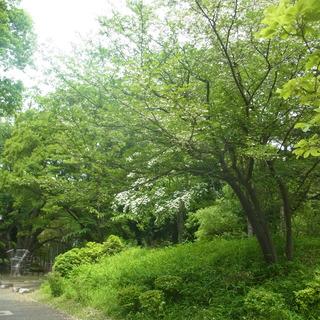 エゴノキ・ヤマボウシ.JPG