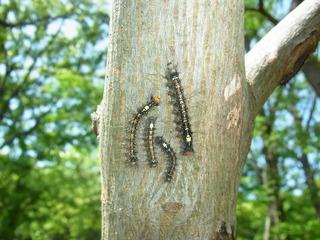 マイマイガ幼虫.JPG