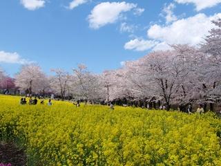 千本桜7729.jpg