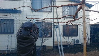 枝の誘引作業.JPG
